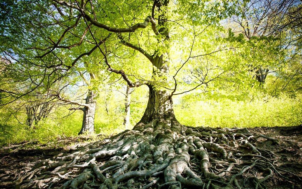Unikátem hukvaldské obory je sedm buků lesních vysazených zde někdy po roce 1730. Stromy překvapí mohutným a spletitým kořenovým systémem obnaženým vlivem eroze. | © Yan Plíhal, AnFas