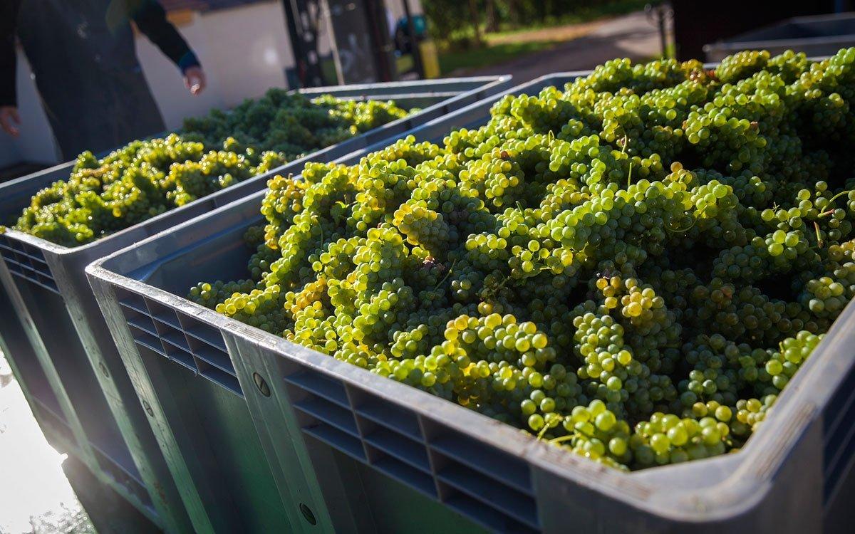 Vinná réva se tu pěstuje již od středověku a vynikající vína z této mimořádné oblasti byla dodávána dokonce i na císařský dvůr a později do také nejlepších vídeňských restaurací. Nejlépe si ale sklenku místního vína vychutnáte přímo v prosluněných vinohradech s výhledem do údolí Dyje. | © Eva Kořínková