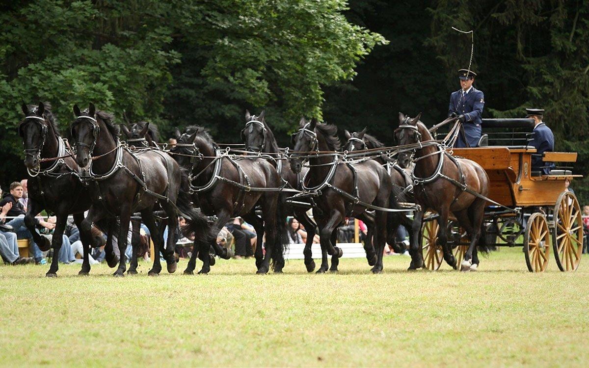 Starokladrubští koně jsou od 16. století ozdobou každého spřežení. Řadí se mezi barokní rasy koní, mají španělsko-neapolský původ a plemeno bylo vyšlechtěno pro ceremoniální účely panovnických dvorů. Právě obliba mezi společenskými elitami habsburské monarchie se jim ale po první světové válce málem stala osudnou. | © Šárka Veinhauerová